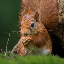 Eurasian red squirrel portrait von Richard Guijt