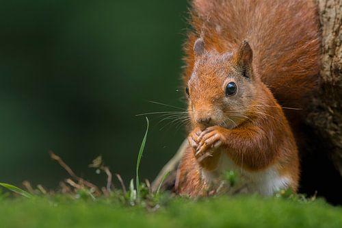 Rode eekhoorn portret