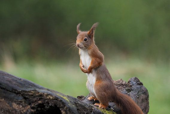Eekhoorn op boomstam van Astrid Brouwers
