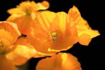 Malerische Mohnblumen von Thomas Jäger