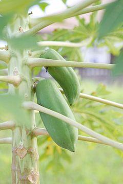 Kakaopflanze mit Bohnen von rene marcel originals