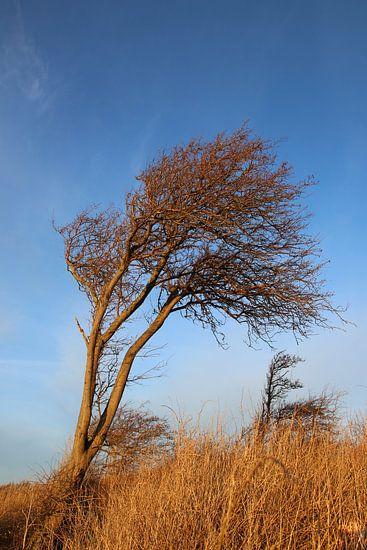 Windflüchter in der Wintersonne