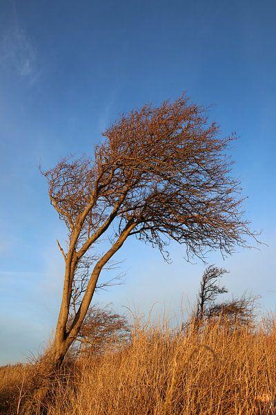 Windflüchter in der Wintersonne van Ostsee Bilder