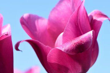 Eine Nahaufnahme von einer Tulpe von Gerard de Zwaan