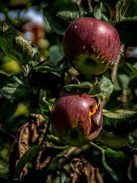 Appels in boomgaard van Jacco Bezuijen