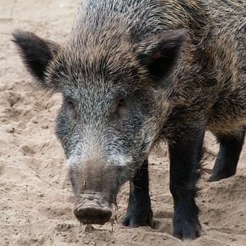 Wildschwein von Klaartje Majoor