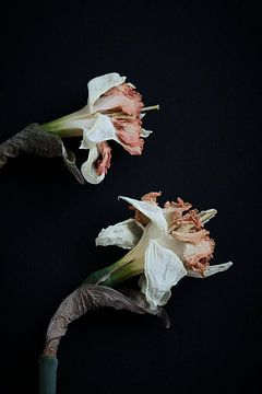 gedroogde narcissen van Karel Ham