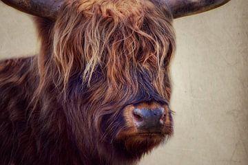Schottischer Highlander Porträt von Consala van  der Griend