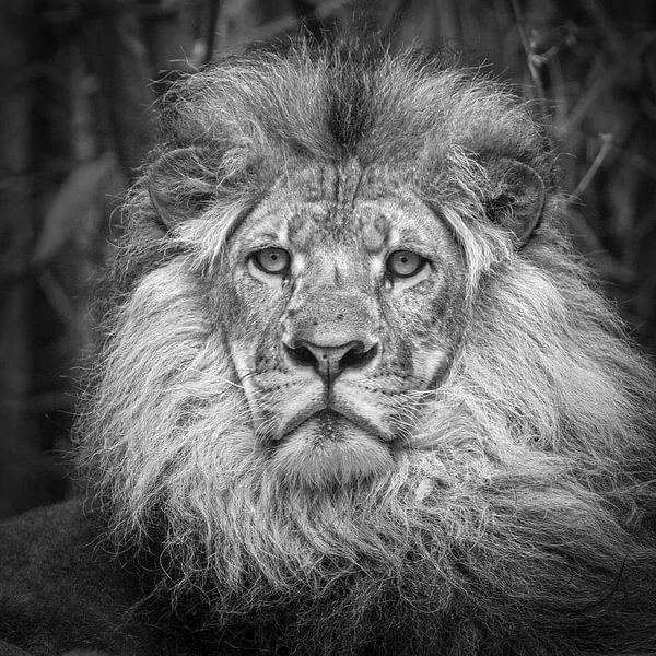 Lion (Panthera Leo) sur Frans Lemmens