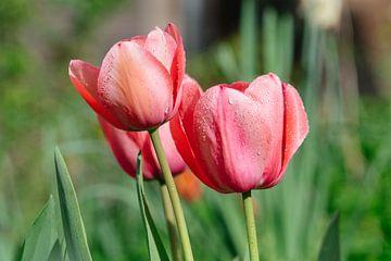 Tulpen aus Utrecht von Thomas Duiker
