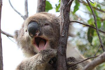 Koala von Julia Wendelaar