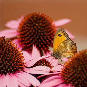 Oranje zandoogje tussen de roze zonnehoed von Sandra van Kampen
