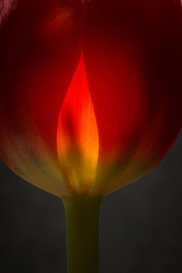 Tulp in vuur en vlam