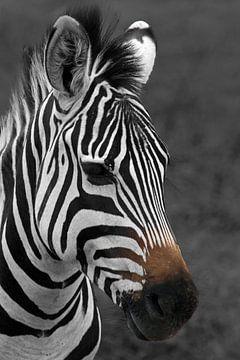 Zwart-Wit foto van een Afrikaanse zebra von Robin Scholte