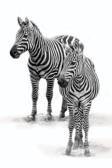 Zebra met  jong, zwart-wit (Dierenpark Emmen)