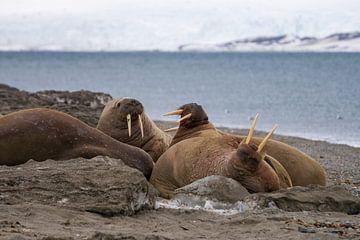 Stoßzähne der Walrosse von Merijn Loch