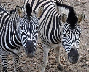 Zebra,s