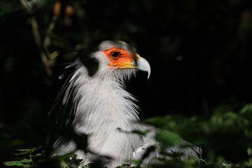 Secretarisvogel van Rodney Pauwels