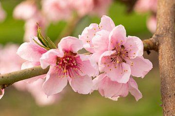 De roze bloem van de perzik van Marijke van Eijkeren