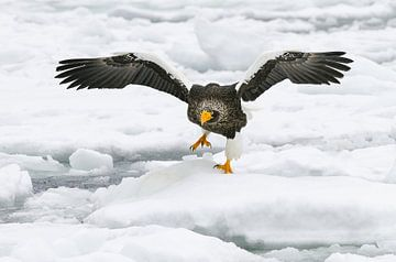 Stellers zeearend op drijvend ijs II van Harry Eggens