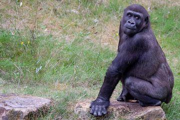 Gorilla houdt alles in de gaten van Arnold van der Horst