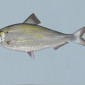 Amerikaanse rivierharing (Alewife fish) van Fish and Wildlife