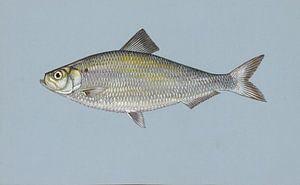 Amerikaanse rivierharing (Alewife fish) van