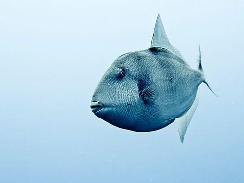 Trekkervis Azoren van