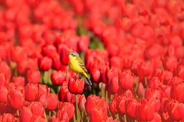 Gele kwikstaart op tulpen van John Leeninga
