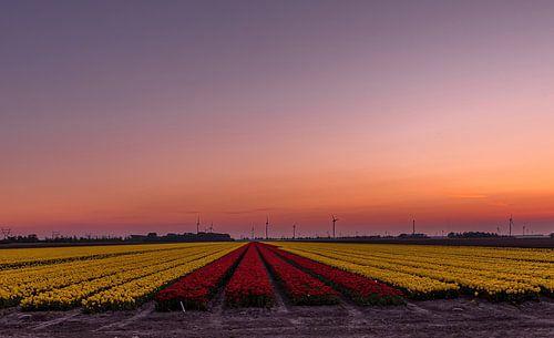 zon's ondergang over de tulpen