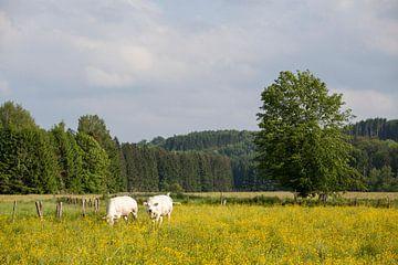 Koeien in weide met bloeiende bloemen, Ardennen van Ger Beekes