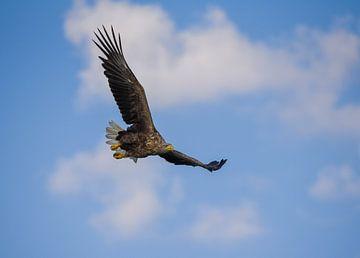 Weißkopfseeadler im Flug von Ed Klungers