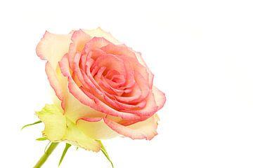Rose sur Tanja van Beuningen