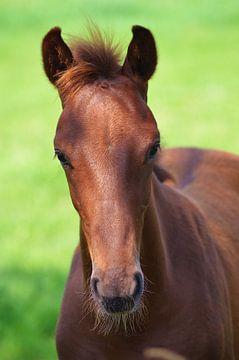Portret van een jong paard van Hannie de Graaff