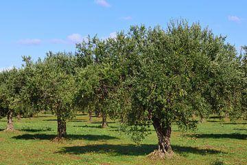 Olijfbomen op een olijfboomgaard tegen een blauwe hemel van Ulrike Leone