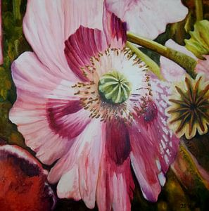 Roze papaver  2 von