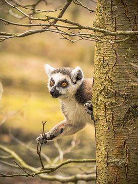 ein Ringelschwanz-Lemur von Martijn Tilroe