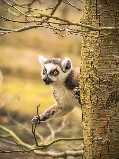 un lémurien à queue rousse