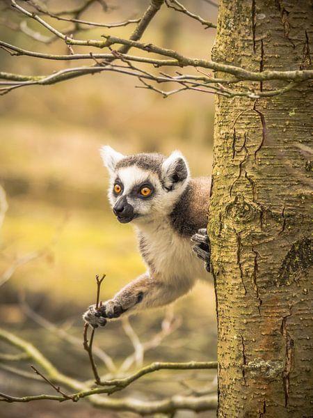 un lémurien à queue rousse sur Martijn Tilroe