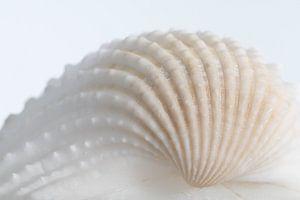 Witte schelp