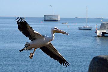 fliegender Pelikan von Merijn Loch