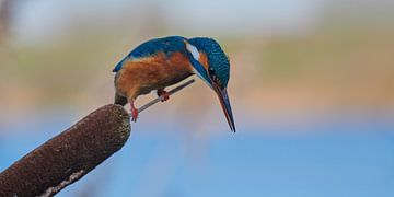 Le martin-pêcheur - la concentration suprême
