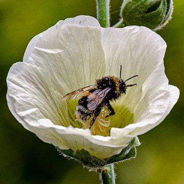 Biene mit Pollen von Annemarie van der Hilst