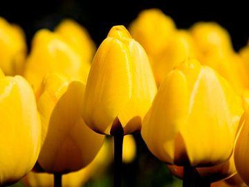 Parterre de tulipes jaunes sur fond noir sur Rob Kints