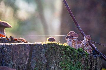 Pilze im Morgenlicht - Honigpilz auf Baumstumpf im Wald von John Ozguc