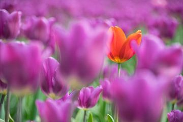 Tulpen uit de polder von Yvonne van Zuiden