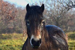 Wild bruin Konik paard dat losloopt in de duinen.