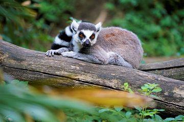 Ringelschwanzlemur auf der Suche nach Eindringlingen in Madagaskars Regenwald von Wouter van der Ent
