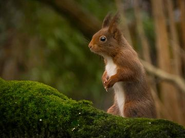 De eekhoorn van Marco Brekelmans
