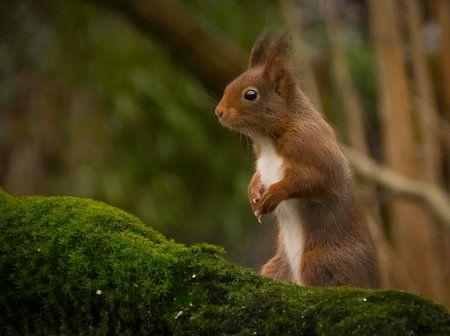 De eekhoorn von Marco Brekelmans